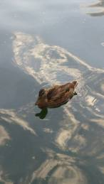 Marshall duck