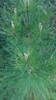 Blooming Pine sapling copyright 2016 S. Linder