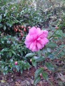 Pink Camellia flower copyright 2016 S. Linder