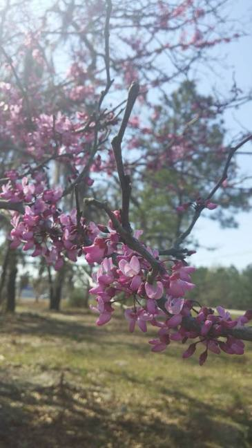 Redbud tree flowers. copyright 2016 S. Linder