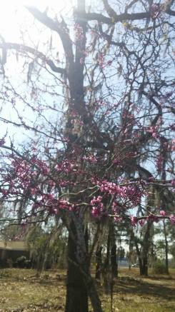 Redbud tree. copyright 2016 S. Linder