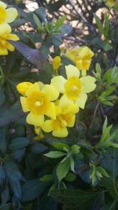 Yellow Jessamine vine copyright 2016 S. Linder