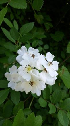 Wild roses copyright 2016 S. Linder
