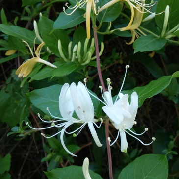Honeysuckle vine copyright 2016 S. Linder