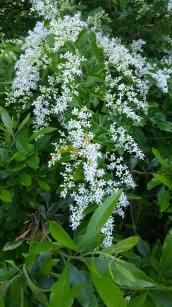 Privet in flower copyright 2016 S. Linder
