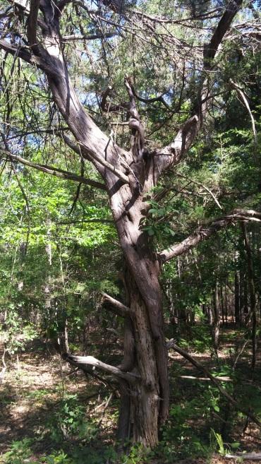 An old cedar... A guardian near the upper entrance to a wildlife refuge.