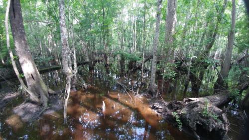 Beidler swamp wm
